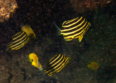Another look at Microcanthus strigatus in the surge...I still can't believe we found a school of them!