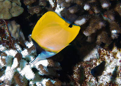 A Common longnose butterflyfish (Forcipiger flavissimus) nipping at coral polyps...that's a White tail chromis (Chromis leucura) at lower right.