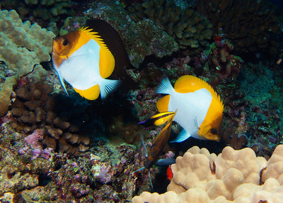 Pyramid butterflyfish (Hemitaurichthys polylepis), having their cleaning needs attended to by a Hawaiian cleaner wrasse (L. phthirophagus)