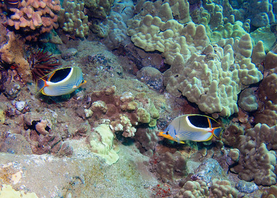 One of my absolute favorite fish, and one of the least common in Maui waters--here's a pair of Saddleback butterflyfish (Chaetodon ephippium). Amazing coloration!
