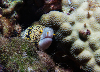 A member of the same genus as the Barred moray (see photos this gallery) but quite a bit more common, here's a Snowflake moray (Echidna nebulosa) looking a bit doubtful about me...