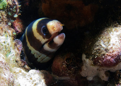Another look at a young Barred moray (Echidna polyzona)