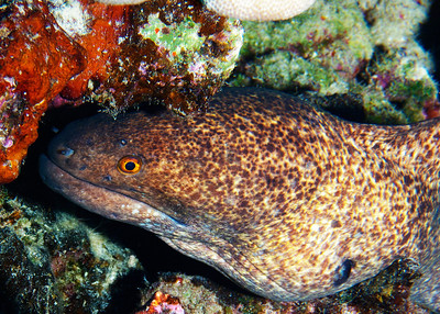 A Yellowmargin moray (Gymnothorax flavimarginatus)...I can't be sure, but judging by the scars on the nose and lower jaw, I'd say our G. flavimarginatus has had a recent close encounter with a sea urchin or two...sometimes eels get a little enthusiastic when going after octopus or other prey...