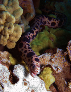 This is a rare find and a very shy animal: a Tiger snake moray (Gymnothorax enigmaticus) This species is almost exclusively nocturnal, feeding primarily on smaller eels.