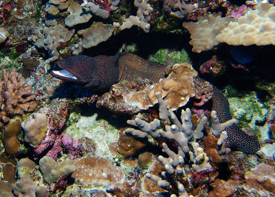 A big, bold Whitemouth moray (Gymnothorax meleagris)