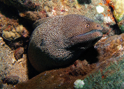 A LARGE Whitemouth moray (Gymnothorax meleagris)...actually you'll probably not see a bigger one.