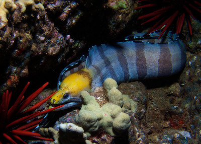 An absolutely stunning adult Banded moray (Gymnothorax rueppellii)