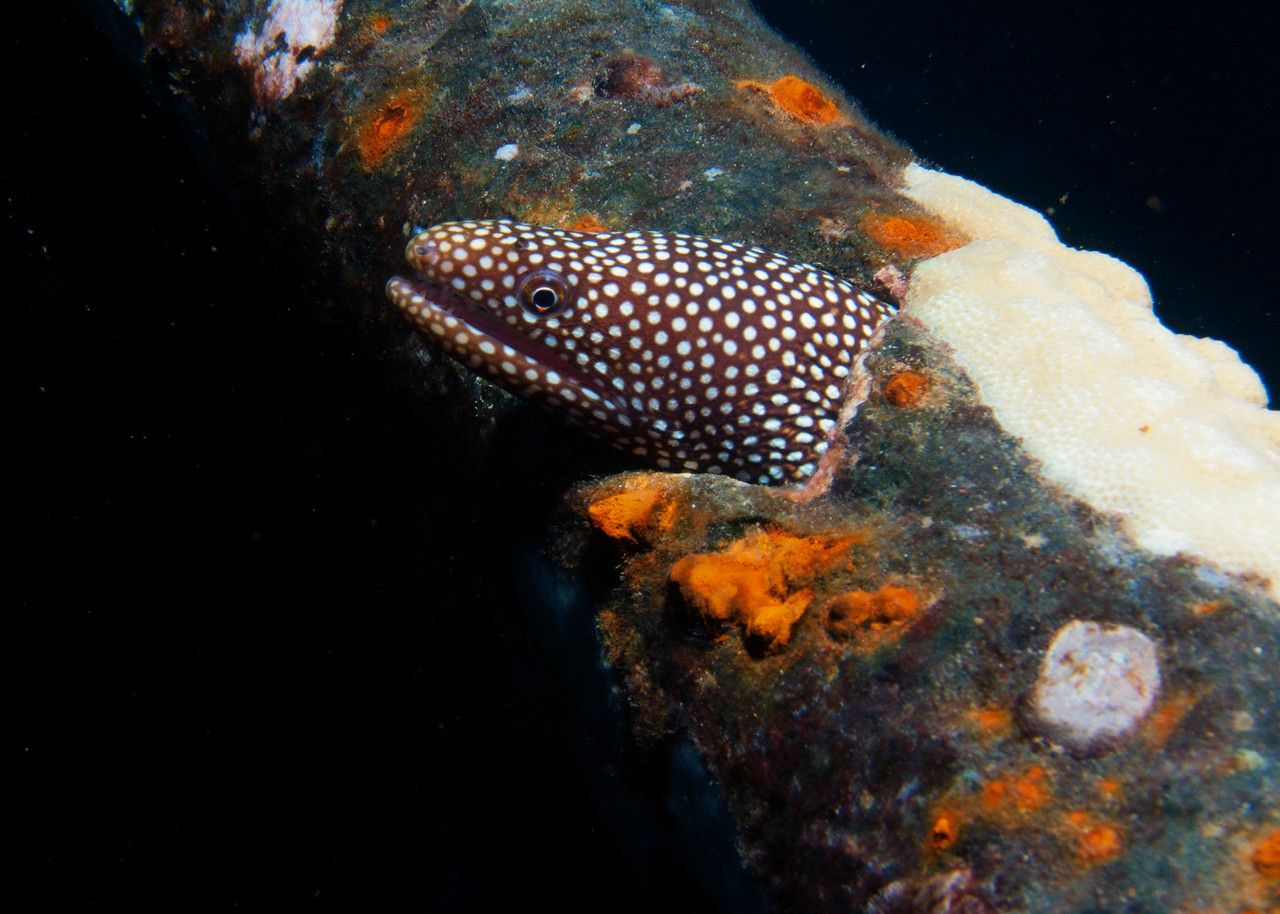 A juvenile Whitemouth moray (Gymnothorax meleagris) has found a home in the old pipe railing on the wreck of the St Anthony...