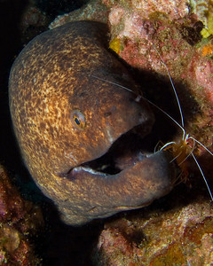 Yellowmargin moray (Gymnothorax flavimarginatus), being attended by a Scarlet cleaner shrimp (Lysmata amboinensis)