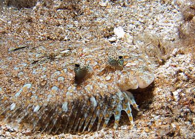 A Panther flounder (Bothus pantherinus) deciding I'm interesting enough to keep both eyes on...