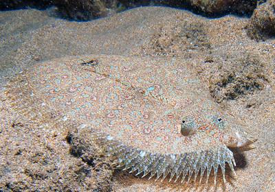 A juvenile Flowery flounder (Bothus mancus) giving me the eye...