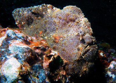 Commerson's frogfish (Antennarius commersoni), always a fun find on the reef...if you manage to see them!