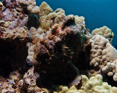 Commerson's frogfish (Antennarius commersoni)