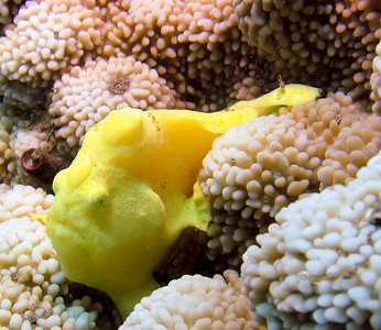 Juvenile commersons frogfish (Antennarius commersoni)