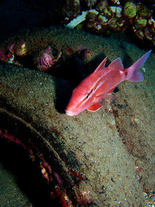 A Whitesaddle goatfish (Parupeneus porphyreus) resting on a part of the artificial reef. This is Hawaii's only endemic goatfish, and the Kumu was often used in sacred or celebratory rituals.