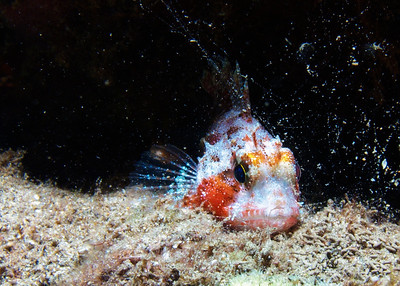 A Galactic scorpionfish (Sebastapistes galactacma) peeking out from under a ledge behind some secreted mucus from a nearby sea cucumber