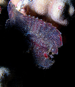 For a leaf scorpion, black is a rare coloration...but purple shading to red is almost unheard-of. Beautiful fish.