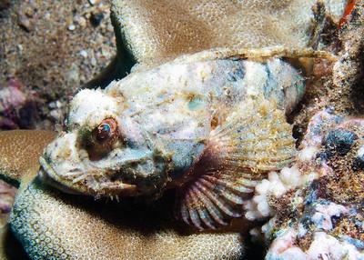 Shortsnout scorpionfish (Scorpaenopsis brevifrons)