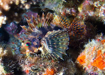 Another showoff Green lionfish (Dendrochirus barberi)...