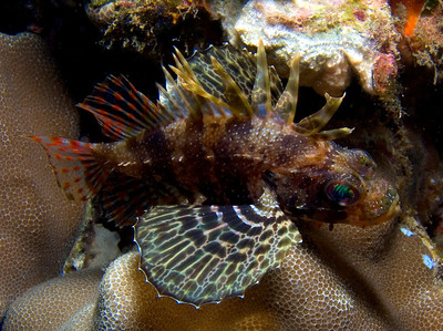 """One of my favorite lines from the PADI open water diver textbook states: """"If it's very pretty, very ugly, or doesn't swim away from you...don't touch it."""" Sound advice. The green lionfish (Dendrochirus barberi) has pretty fins, ugly poison spines, and no need to swim away."""