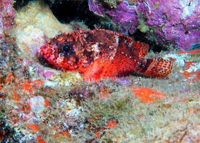 A beautifully patterned Lowfin scorpionfish (Scorpaenodes parvipinnis). This is the first photo I've gotten of this species, and I observed some behavior I haven't seen described in print...there were a pair of these, and when I first approached, both of them were showing the trademark white band around the midsection (still faintly visible in the photo above). As I got closer, one of the pair disappeared into the reef, while the other darkened until the white patch was almost gone, as seen here.