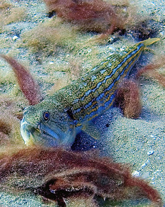 The interesting Nearsighted lizardfish (Trachinocephalus myops), taking it easy after a large meal.