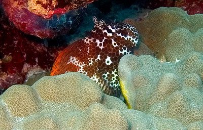 A Spotted coral blenny (Exallias brevis) tucked into the lobe coral