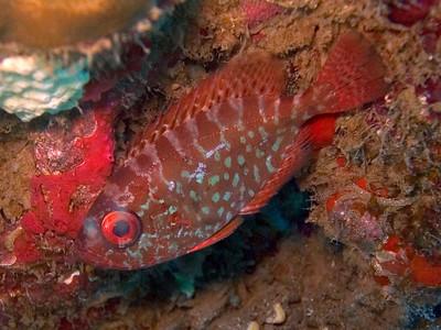 One of my favorite fish, but seldom seen except at night: The Glasseye squirrelfish, or Common bigeye (Heteropriacanthus cruentatus)