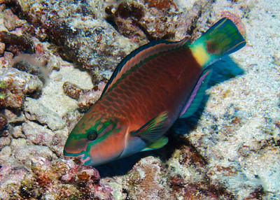 The fantastic colors of a young male Bullethead parrotfish (Chlorurus spilurus)