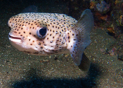 A juvenile Giant porcupinefish (Diodon hystrix) gives us a grin...