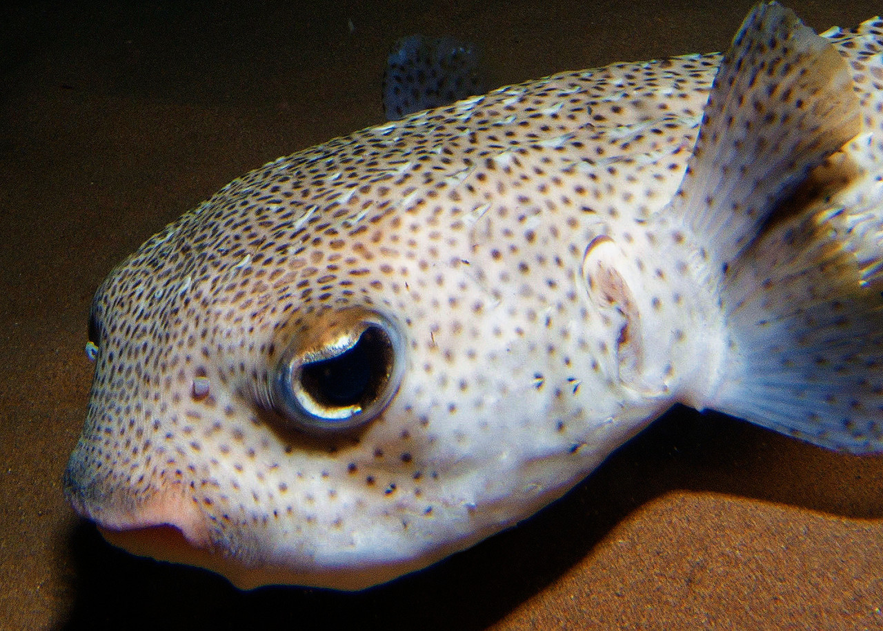 A Giant porcupinefish (Didon hystrix) gets up close and personal...