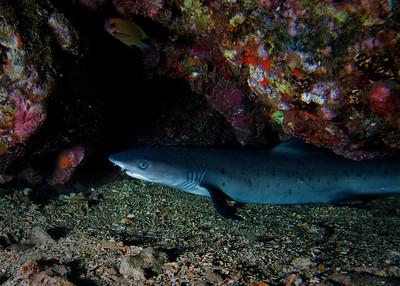 Juvenile Whitetip reef shark (Triaenodon obesus), with an Agile chromis (Chromis agilis) swimming in the upper left