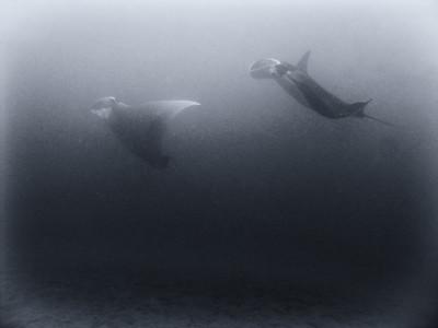 Coastal manta rays (Manta alfredi) b/w study