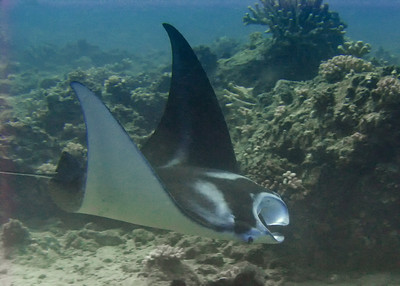 A juvenile Pelagic manta ray (Manta birostris), feeding on zooplankton and getting curious about the photographer. This young one was good enough to keep me company for some time...and there are few more beautiful underwater dancers.