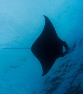 Coastal manta ray (Manta alfredi)