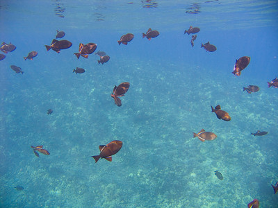 A school of black durgeons (Melichthys niger) feeding in the sunlight high above the reef