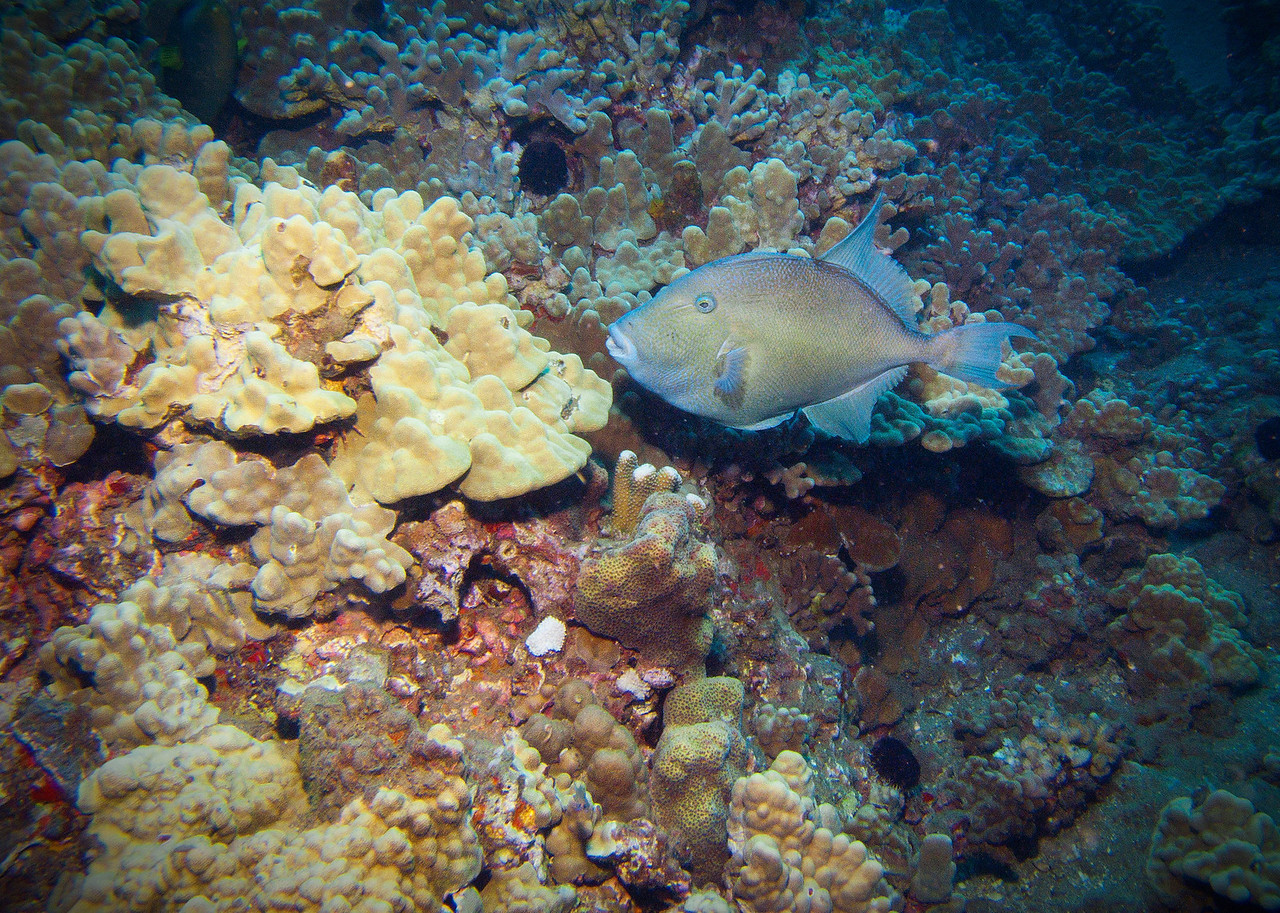 "A rare find in Maui--this is the beautiful Finescale triggerfish (Balistes polylepis). Easily the largest triggerfish you'll see in the Islands, they grow to almost 30"" (this one is about 18"".) Look close and you can see where the common name derives from..."