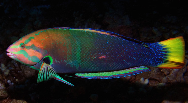 A big, bold yellowtail coris (Coris gaimard)showing off just about every color in the spectrum. Flashy fish.