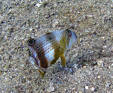 See? Razor wrasses are always ready to run...