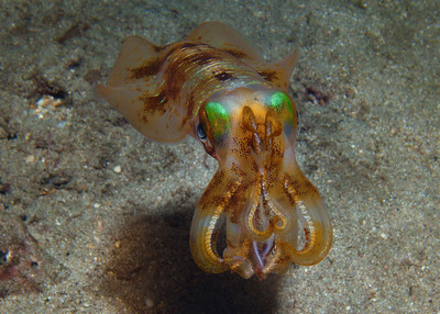 Anyone who's gone diving with me knows one of my favorite dive buddies and photo subjects--Sepioteuthis lessoniana, the beautiful Oval (or Bigfin) squid.  These curious and intelligent cephalopods make any night dive exciting.
