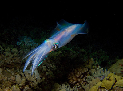 An oval squid (Sepioteuthis lessoniana) ghosting through the night...