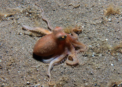 A beautiful Short-arm sand octopus (Amphioctopus arenicola)