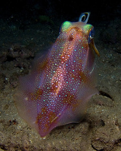 An oval squid (Sepioteuthis lessoniana)trying to figure out if I'm friend or foe.