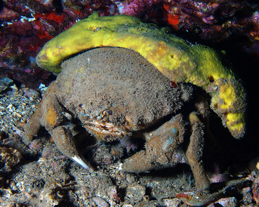 A big Sleepy sponge crab (Dromia dormia), showing the large protective yellow sponge it carries around for camoflauge and protection, which gives D. dormia it's family common name.