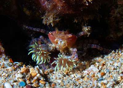 One of the odder crustaceans you'll see in Maui waters...was thrilled last night to have my very first sighting of a Hawaiian pom-pom crab (Lybia edmondsoni). This amazing crab keeps a stinging anemone at the end of each claw for defense and hunting, giving it its common name, as well as an unusual appearance.