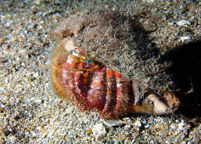 A Bloody hermit crab (Dardanus sanguinocarpus) inhabiting the shell of what I think is a small Leopard cone--hard to tell with all the overgrowth.