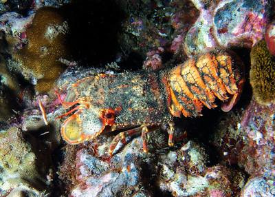The amazing Regal slipper lobster (Arctides regalis)