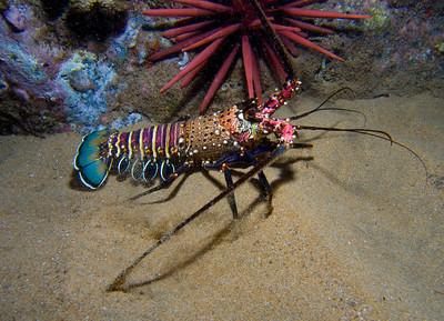 Spiny lobster (Panulirus marginatus) out for a walk at night.