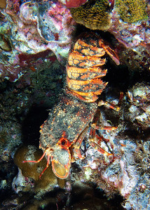 Another view of Arctides regalis, clambering down a rock face...