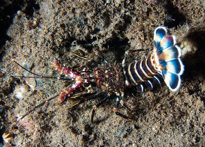 That same showy juvenile lobster...that is quite a tail fan!